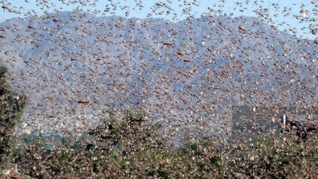 http://resources0.news.com.au/images/2010/04/20/1225856/160144-locusts.jpg