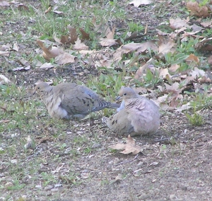 Mourning doves in my back yard