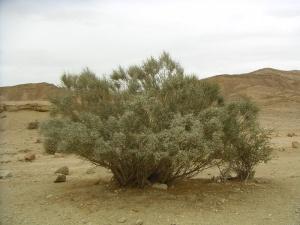 Broom Bush (http://www.botanicalgarden.ubc.ca)