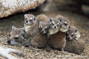 Female-and-young-rock-hyrax-huddling-to-conserve-body-heat