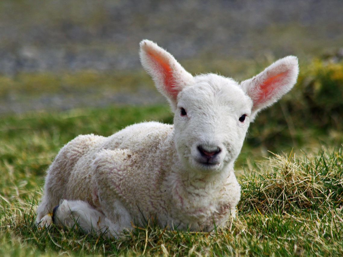 Cheviot_lamb_on_the_Isle_of_Lewis