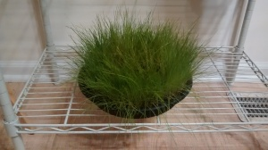 "My ""cat grass"" ready for winter :)"